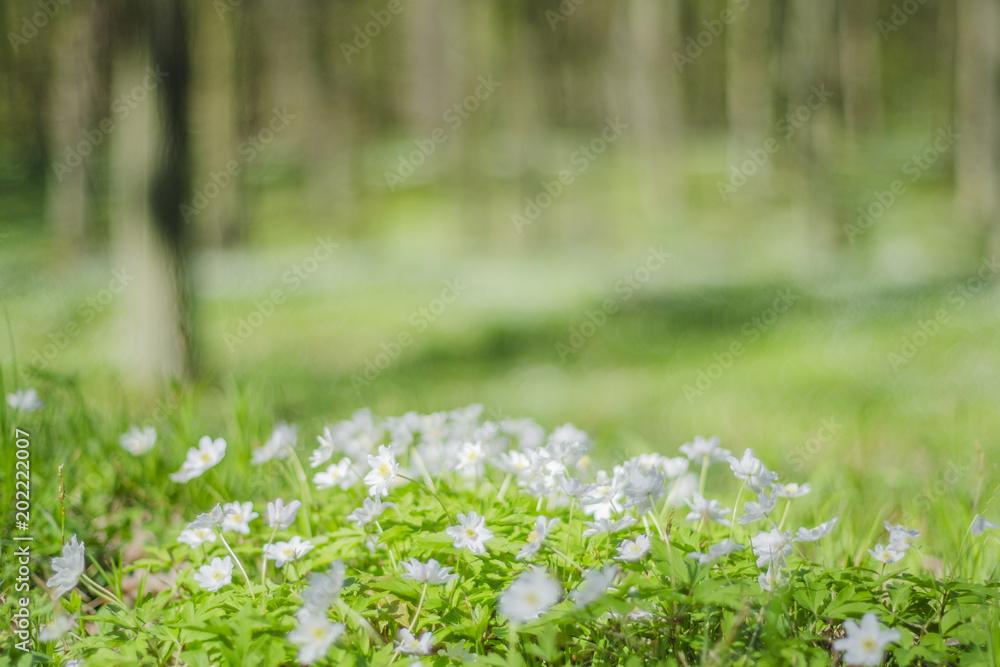 Fototapeta wiosenny las z mnóstwem zawilców