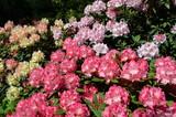 Fototapeta Kwiaty - Kwitnące kolorowe okazałe różaneczniki, Rhododendron