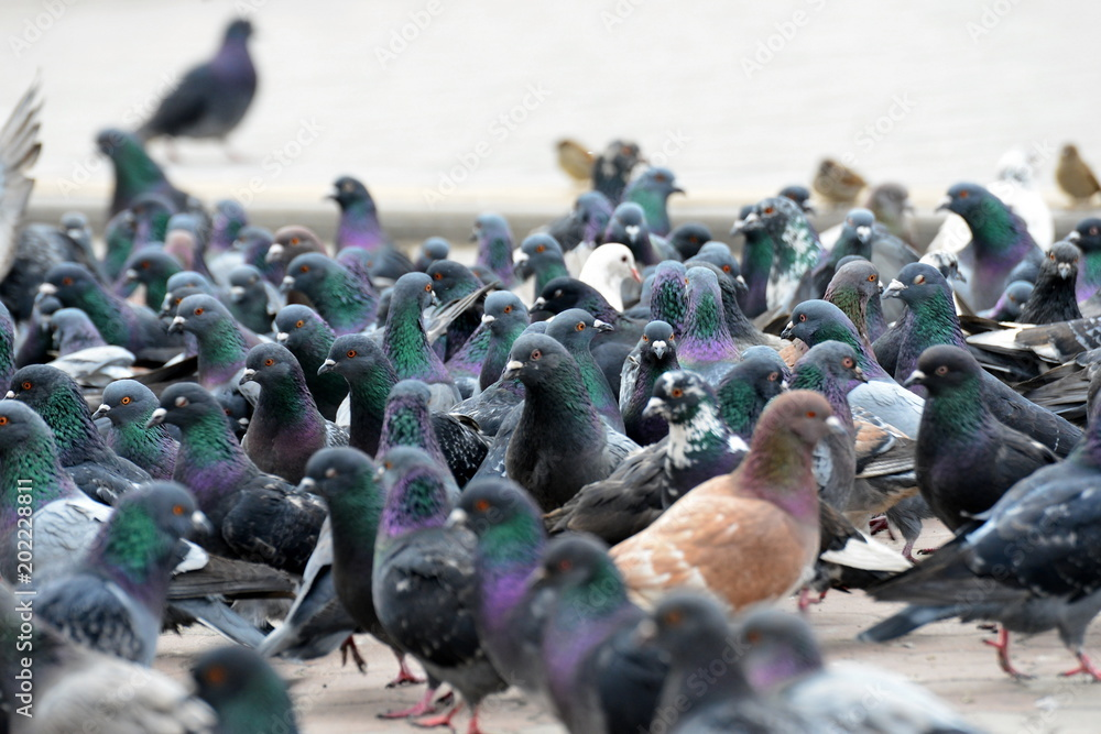 A flock of pigeons close-up. A lively movement among birds.