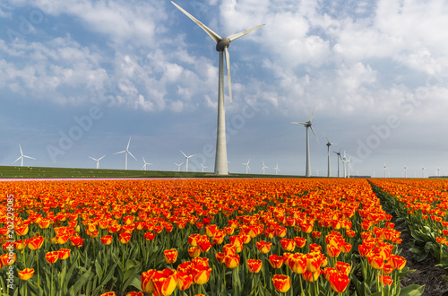 Orange tulip field and wind turbines in the Noordoostpolder municipality, Flevoland