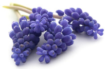 Perlehyacinter Or Grape Hyacinths