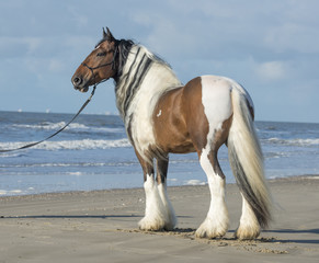 Gypsy Vanner Horse stallion on beach