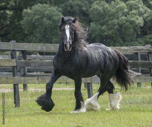 Fotografija Gypsy Vanner Horse stallion