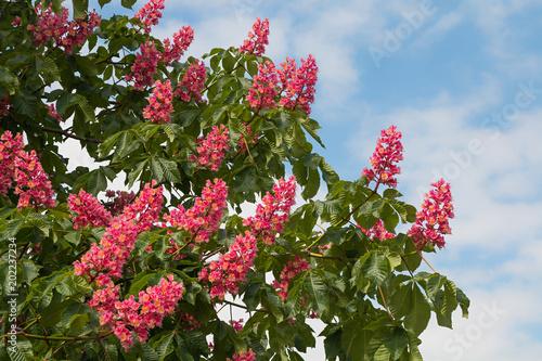 rote Kastanienblüten in voller Blüte