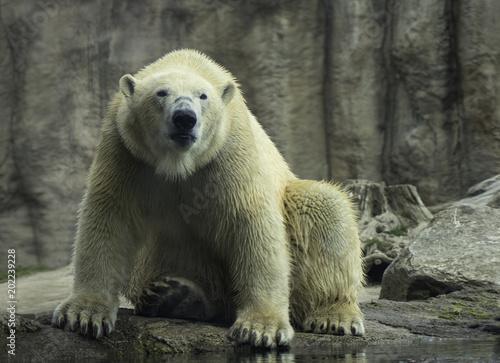 In de dag Ijsbeer Polar Bear portret