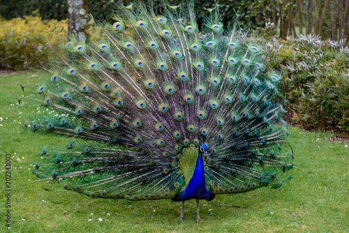 Tuinposter Pauw Proud peacock is presenting its magnificent tail