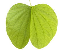 Green Bauhinia Leaf Isolated On White Background