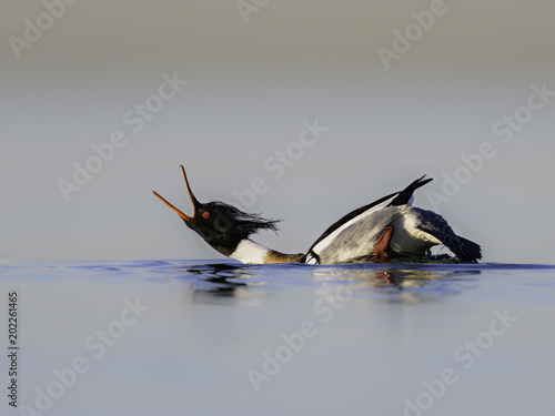 Red-breasted Merganser Performing a Courtship Display
