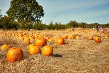 Pumpkin Patch In A Field Of St...