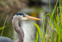 Great Blue Heron Close Up Near...