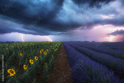 Poster Oceanië Champ de lavandes et de tournesols sous les orages et éclairs. Provence, France