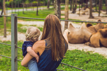 Mother And Son Looks At The Camels At The Zoo