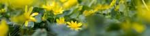 Banner Of Buttercup Yellow Flower Blooming In The Spring In The Woods