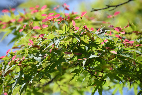 Fotografie, Obraz  young leaves and seeds of Japanese maple / イロハモミジの新芽と種(広角寄り