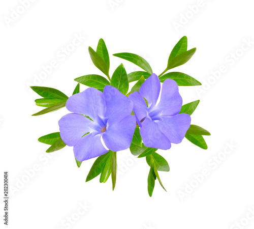 Cuadros en Lienzo Vinca or periwinkle. Isolated on white background