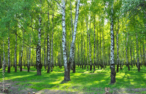 birch grove with green leaves in the spring in the sun. early may
