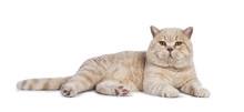 Impressive Creme Adult Male British Shorthair Cat Laying Down Side Ways Isolated On White Background Looking Straight In Camera
