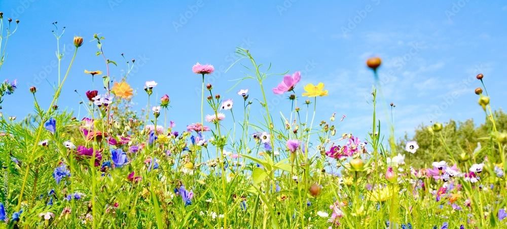 Fototapety, obrazy: Blumenwiese - Hintergrund Panorama -  Wildblumen Wiese