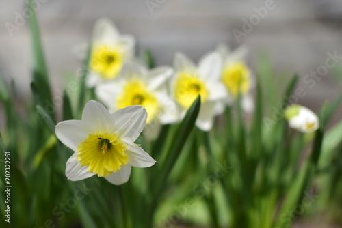 Papiers peints Narcisse В саду у Храма