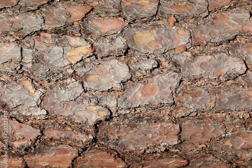 bark of pinus sylvestris Tablou Canvas