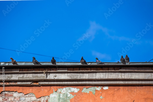 Pigeons. Flock of pigeons on the roof building.