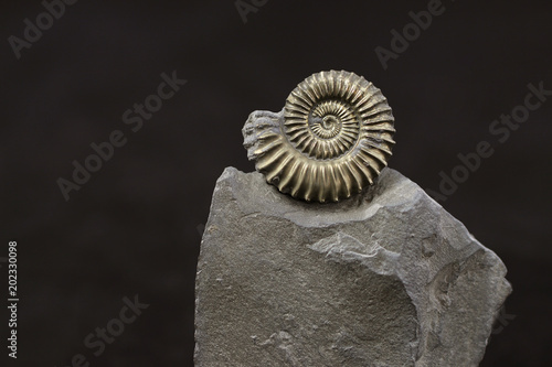 Pyritic ammonite Polymorphites bronni from the Liassic Syncline of Herford (Nort Wallpaper Mural