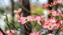 Closeup Of Pink Dogwood In Bloom