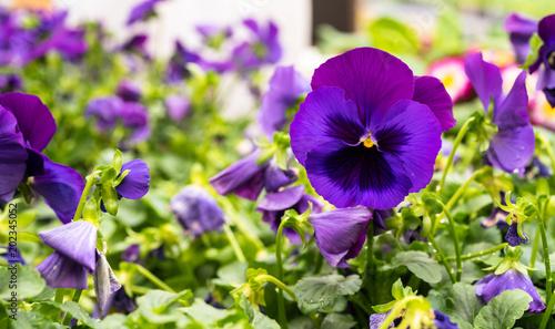 Canvas Prints Pansies Purple Pansy
