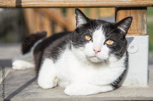 Photo  portrait of eureopeen type cat living in belgium..