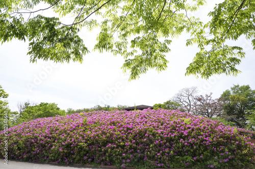 In de dag Azalea 新緑とツツジ (香川県高松市仏生山公園)
