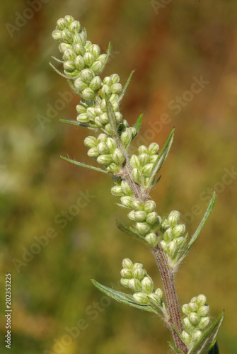 Fotografie, Obraz  Artemisa vulgaris, Allergens Plants