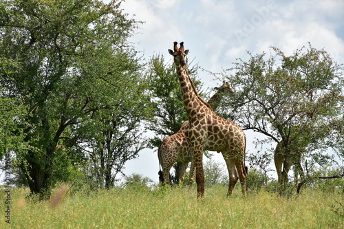 Foto op Plexiglas Leeuw giraffe in Kruger National park in South Africa, near district Lower Sabie