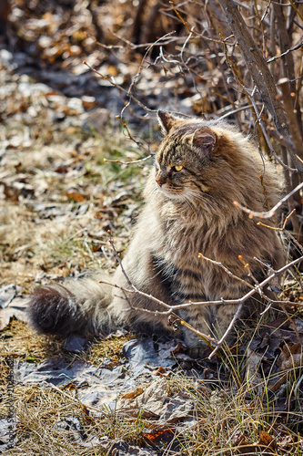 Fotografia  watch out siberian cat in garden profile