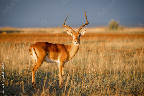 Door stickers Antelope Impala Antilope in der Abendsonne in der afrikanischen Savanne