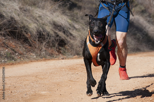 Corrida Dog and man taking part in a popular canicross race..