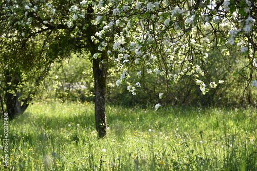 Arbre fruitier en fleurs (pommiers)