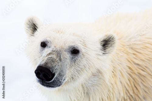 In de dag Ijsbeer Eisbär, Spitzbergen, Norwegen, Packeis, Nordpol, Wasser, Eisberg