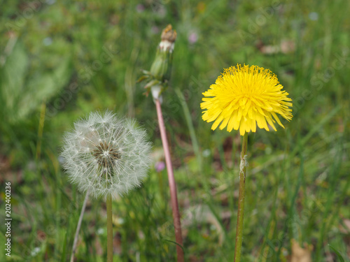 Fotografie, Obraz  common Dandelion flower