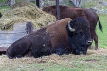 Buffalos In Parc Omega (Canada)