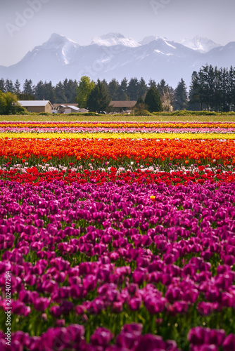 Wall Murals Magenta Colorful Tulips in the Field. Tranquil field of tulips in the Spring.