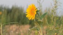 Sunflower Windy