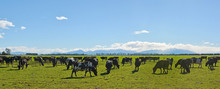 Dairy Farming On Canterbury Plains Panorama