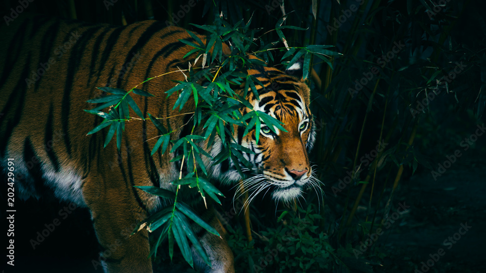 Fototapeta A Bengal Tiger Hiding In The Forest Behind Green Branches