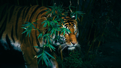 Obraz na Plexi Natura A Bengal Tiger Hiding In The Forest Behind Green Branches