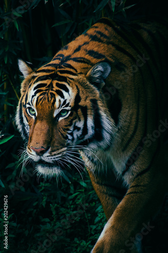 Fototapety, obrazy: A Hungry Malayan Tiger Stalking Through the Green Forest Trees