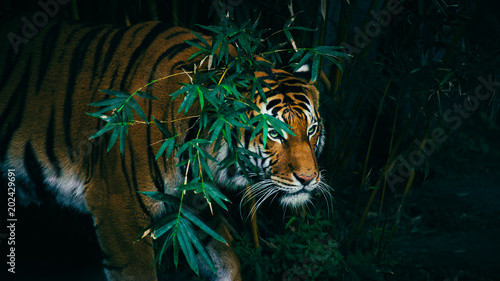 Staande foto Tijger A Bengal Tiger Hiding In The Forest Behind Green Branches