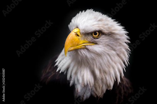 Photo Stands Eagle Isolated Angry Eagle Staring to the Left