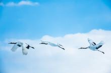 空を飛ぶ丹頂鶴