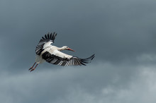 Portrait Of Stork Flying On Cloudy Sky Background