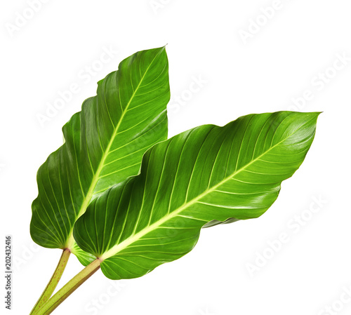 Large leaves of Spathiphyllum or Peace lily, Tropical foliage isolated on white background, with clipping path Fototapete